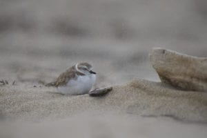 Snow Plover image for networking for introverts